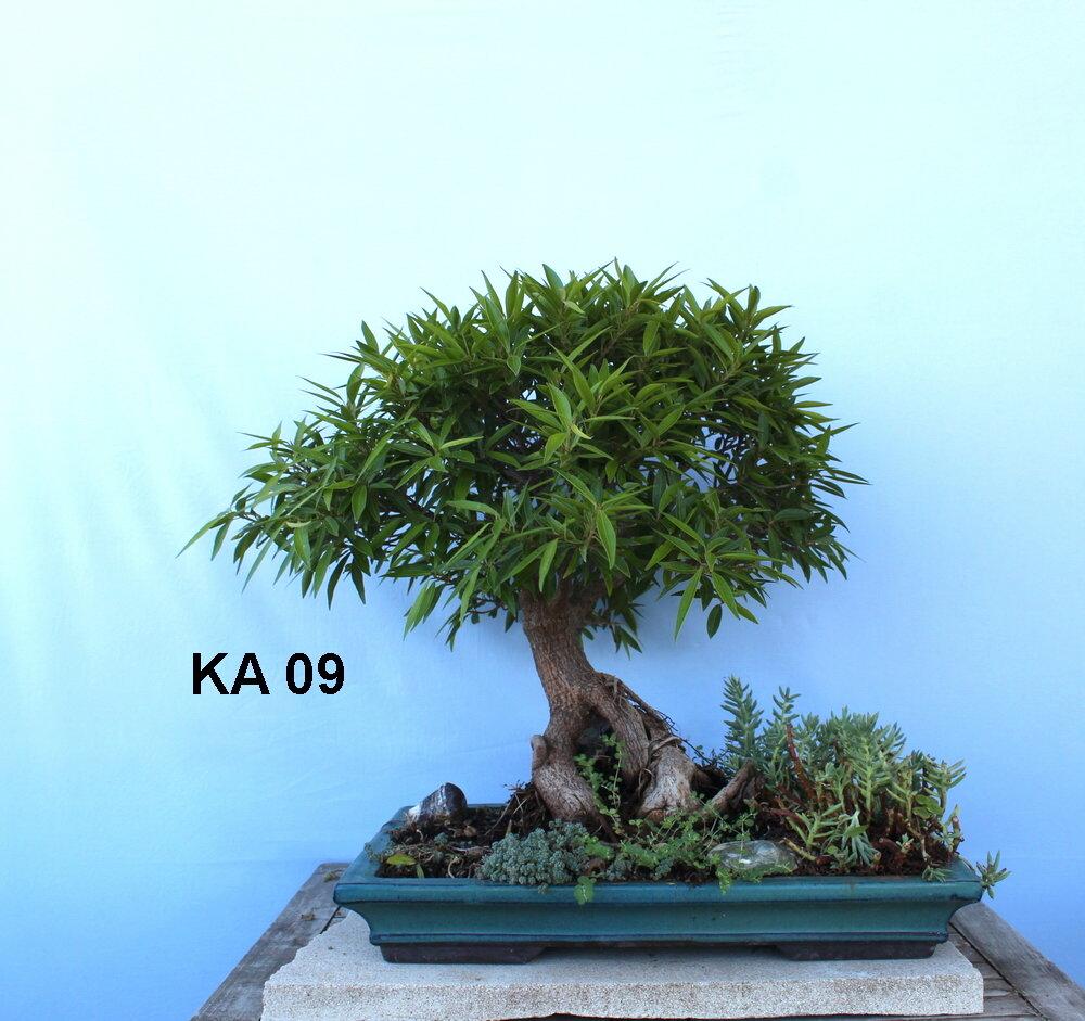 Ficus Nerifolia